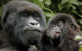 A Gorilla and Baby in Uganda