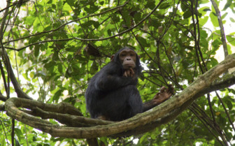 A Chimpanzee Seated on a Branch