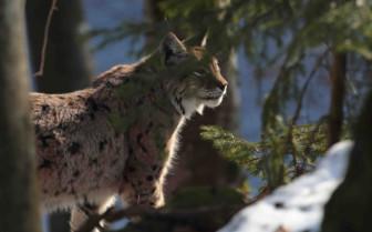 Wildlife in the snowy woods