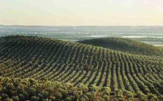 Olive groves of Alentejo