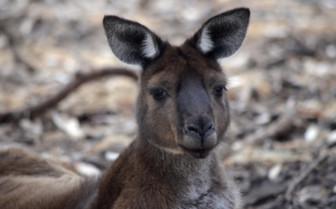 A Kangaroo in South Australia