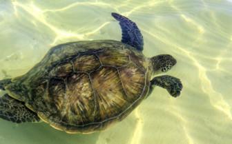 A Sea Turtle Swimming near Lord Howe Island