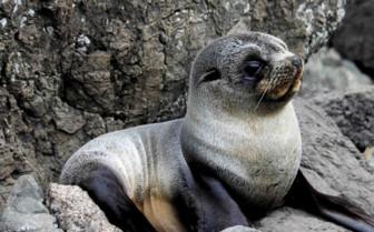 A Seal Pup