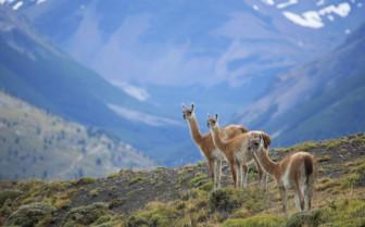 Llamas on a Hillside