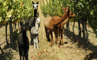 Alpacas in the Vineyards