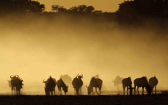 Herd of Wildebeest dusk