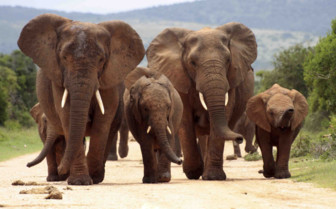 Elephants marching