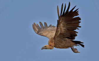 Vulture Flying