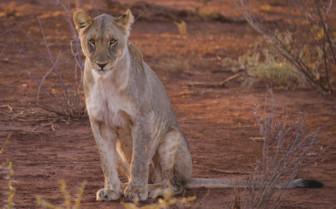 Baby Lion Sitting