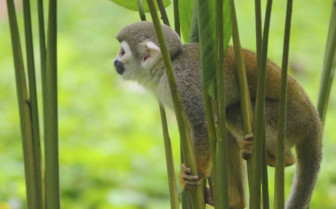 A Squirrel Monkey Clinging to Leaves