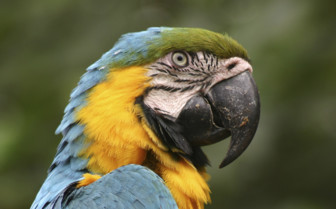 A Blue, Green and Yellow Ecuadorian Macaw