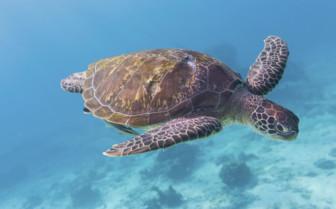 A Green Turtle - West Coast Thailand