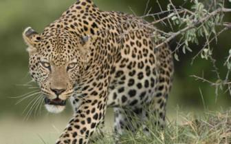 Cheetah prowling