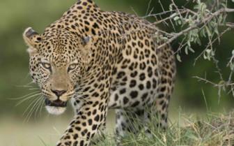 Prowling Cheetah