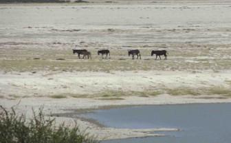 Donkeys crossing the Makgadikgadi