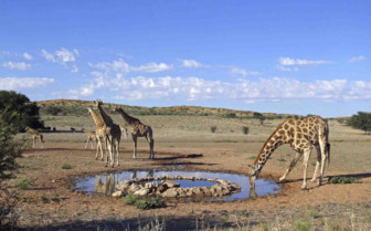 Giraffes in Kalahari