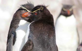 Cluster of Penguins