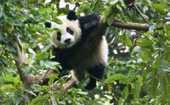 A Panda Climbing a Tree