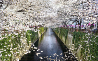 White Cherry Blossom over Canal