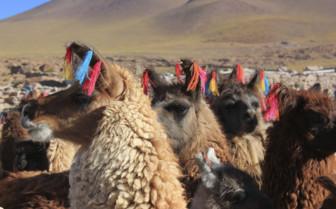 Colourful Llama Herd