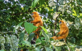 Red Leaf Monkeys in the Jungle