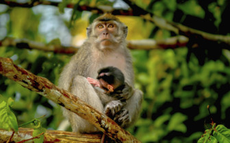 A Grey Monkey on a Branch with its Baby - Borneo