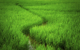 A Path Snaking Through the Rice Paddies