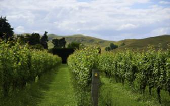 A Vineyard in Hawkes Bay