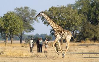 Giraffe Safari in Luangwa