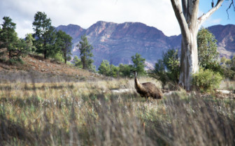 Emu in Flinders Ranges, Australian outback