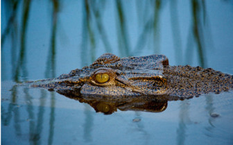 Crocodile wildlife in Top End, Australia