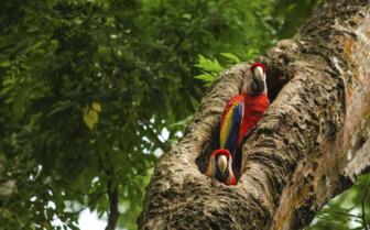 Peek a boo parrots of the rainforest