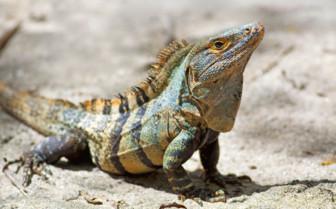 Iguana Costa Rica