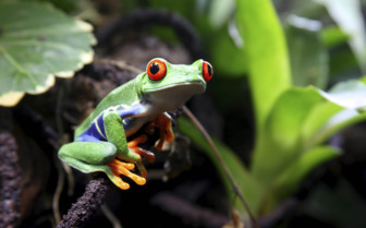 Red eyed frog in the rainforest