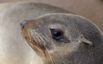 Close up of a seal on the Namibian coast