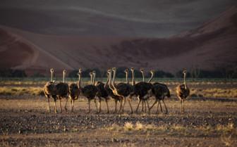 Ostrich in Zambia