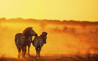 Zebras and sunset