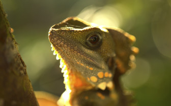 Boyds Forest Dragon, Queensland
