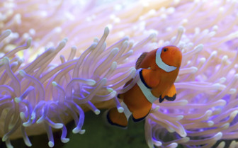 Clownfish, great barrier reef