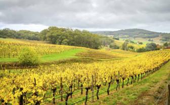 Vineyards near to Adelaide