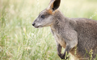 Wallaby on Kangaroo Island