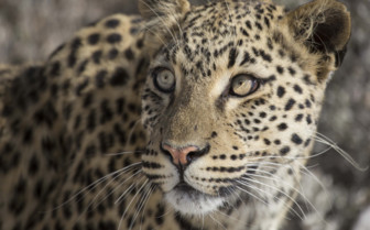 Close up of a pretty leopard