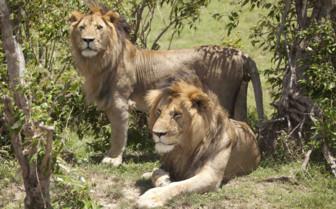 Sala's camp lions
