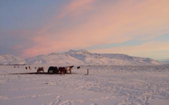 Icelandic ponies at sunset