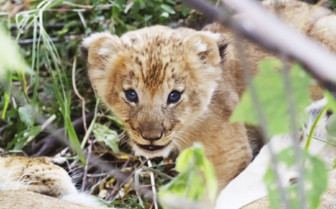 Lion cub in Kenya
