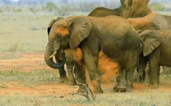Elephants playing in Tsavo East National Park