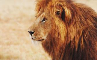 Majestic lion in Kenya