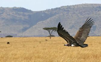 Bird of prey over Kenyan plains