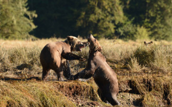 Bears fighting at Knight Inlet Lodge