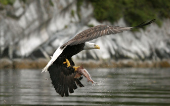 Eagle with salmon catch
